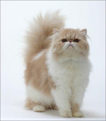 宠物大全:波斯猫的详细资料