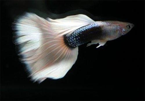 宠物大全:孔雀鱼的详细资料